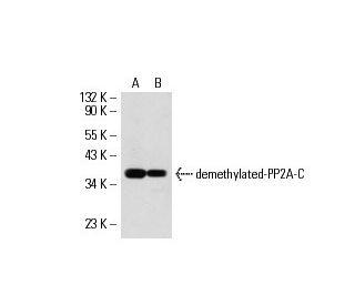 demethylated-PP2A-C (4i57): sc-80990. Western blot analysis of demethylated-PP2A-C expression in...