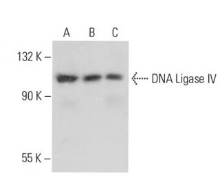 DNA Ligase IV Antibody (D-8) |...