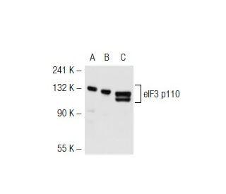 eIF3 p110 (H-220): sc-28858. Western blot analysis of eIF3 p110...