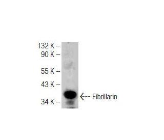 Fibrillarin (G-4): sc-166021. Western blot analysis of Fibrillarin expression in...