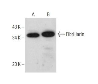 Fibrillarin (G-8): sc-374022. Western blot analysis of Fibrillarin expression in...