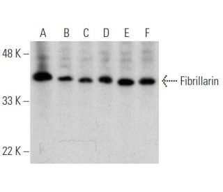 Fibrillarin (G-8) HRP: sc-374022 HRP. Direct western blot analysis of...