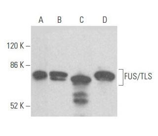 FUS/TLS (4H11): sc-47711. Western blot analysis of FUS/TLS expression in...