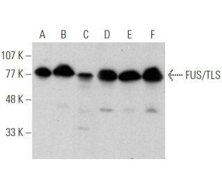 FUS/TLS (4H11) HRP: sc-47711 HRP. Direct western blot analysis of...