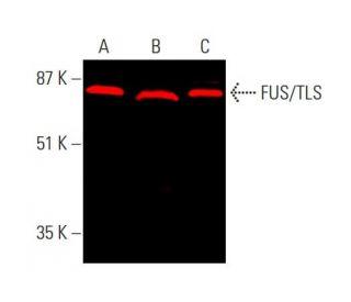 FUS/TLS (4H11): sc-47711. Near-infrared western blot analysis of FUS...