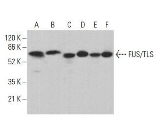 FUS/TLS (4H11): sc-47711. Western blot analysis of FUS/TLS expression...