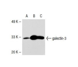 galectin-3 (B2C10): sc-32790. Western blot analysis of galectin-3 expression in...