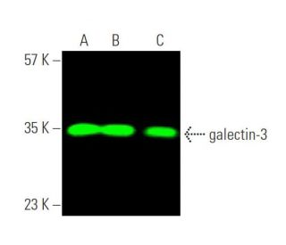 galectin-3 (B2C10): sc-32790. Near-infrared western blot analysis of galectin...