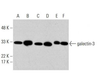 galectin-3 (B2C10) HRP: sc-32790 HRP. Direct western blot analysis of...