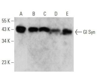 Gl Syn Antibody (E-4)   SCBT - Santa Cruz Biotechnology
