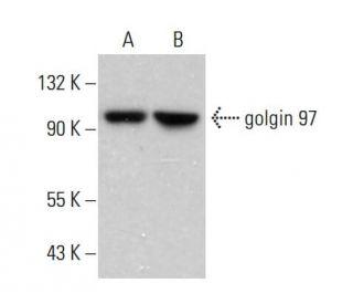 golgin 97 (CDF4): sc-73619. Western blot analysis of golgin 97 expression...