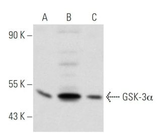 GSK-3 alpha (10C1): sc-81463. Western blot analysis of GSK-3 alpha expression in...