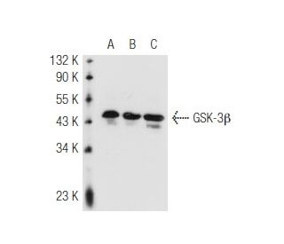 GSK-3 beta (11B9): sc-81462. Western blot analysis of GSK-3 beta expression in...