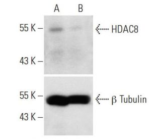 HDAC8 siRNA (h): sc-35548. Western blot analysis of HDAC8 expression...