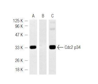 Hydroxyurea: sc-29061. Western blot detection of Cdc2 p34 phosphorylation using...