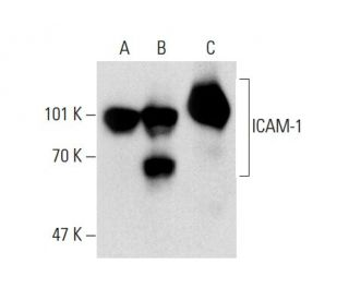 ICAM-1 (G-5): sc-8439. Western blot analysis of ICAM-1 expression in...