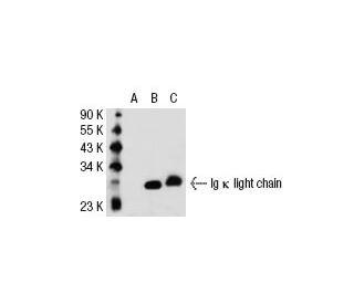 Ig Kappa Light Chain (MHK 49): Sc 73393. Western Blot