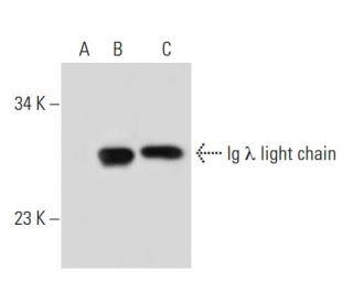 Ig Lambda Light Chain (4G7): Sc 69923. Western Blot Analysis Of