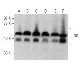 JNK (D-2) HRP: sc-7345 HRP. Direct western blot analysis of...