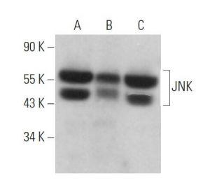 JNK (D-2): sc-7345. Western blot analysis of JNK expression in...