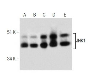JNK1 (37): sc-136205. Western blot analysis of JNK1 expression in...