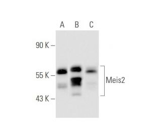 Meis2 (63-T): sc-81986. Western blot analysis of Meis2 expression in...