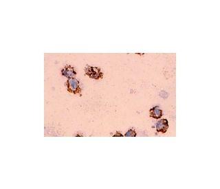 MIP-1 alpha (C-16): sc-1381. Immunoperoxidase staining of formalin fixed human leukocytes...