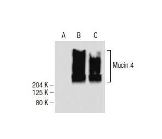 Mucin 4 (8G7): sc-53945. Western blot analysis of Mucin 4...