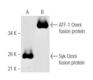 Omni-probe Antibody (D-8) | SCBT - Santa Cruz Biotechnology