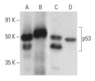 p53 (DO-1) HRP: sc-126 HRP. Direct western blot analysis of...