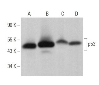 p53 (DO-1): sc-126. Western blot analysis of p53 expression in...