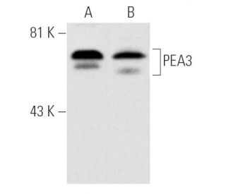 PEA3 (16): sc-113. Western blot analysis of PEA3 expression in...