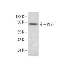 PLZF (D-9): sc-28319. Western blot analysis of PLZF expression in...