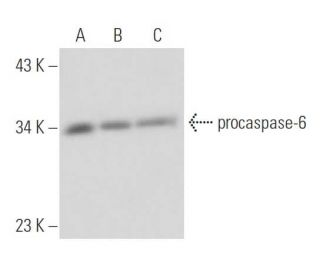 PMA: sc-3576. Western blot analysis of procaspase-6 expression in PMA...