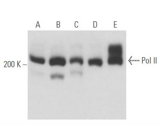 Pol II (8WG16): sc-56767. Western blot analysis of Pol II...