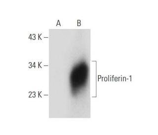 Proliferin (E-10): sc-271891. Western blot analysis of Proliferin-1 expression in...