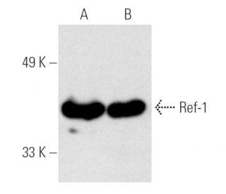 Ref-1 (C-4): sc-17774. Western blot analysis of Ref-1 expression in...