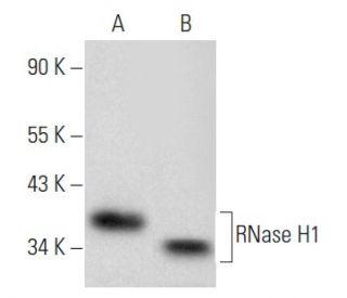 RNase H1 Antibody (H-4) | SCBT...