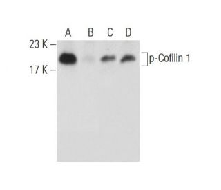 Salubrinal: sc-202332. Western blot analysis of Cofilin 1 phosphorylation in...