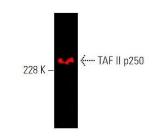 TAF II p250 (6B3): sc-735. Near-infrared western blot analysis of...