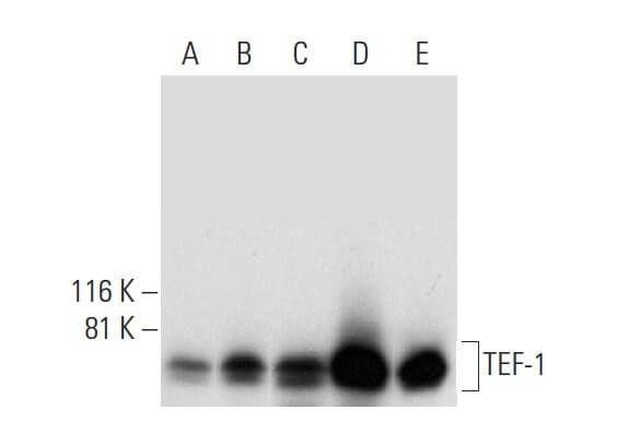 TEF-1 Antibody (H-4) | SCBT - Santa Cruz Biotechnology