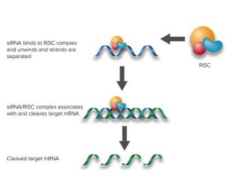 siRNA binds RISC (RNA-induced silencing complex)