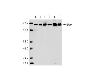 Western Blotting Luminol Reagent: sc-2048. Western blot analysis of Daxx...