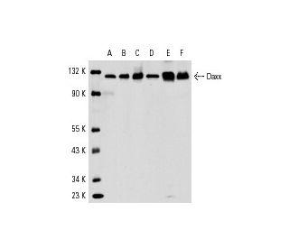 Western Blotting Luminol Reagent: sc-2048. Western blot analysis of Daxx...